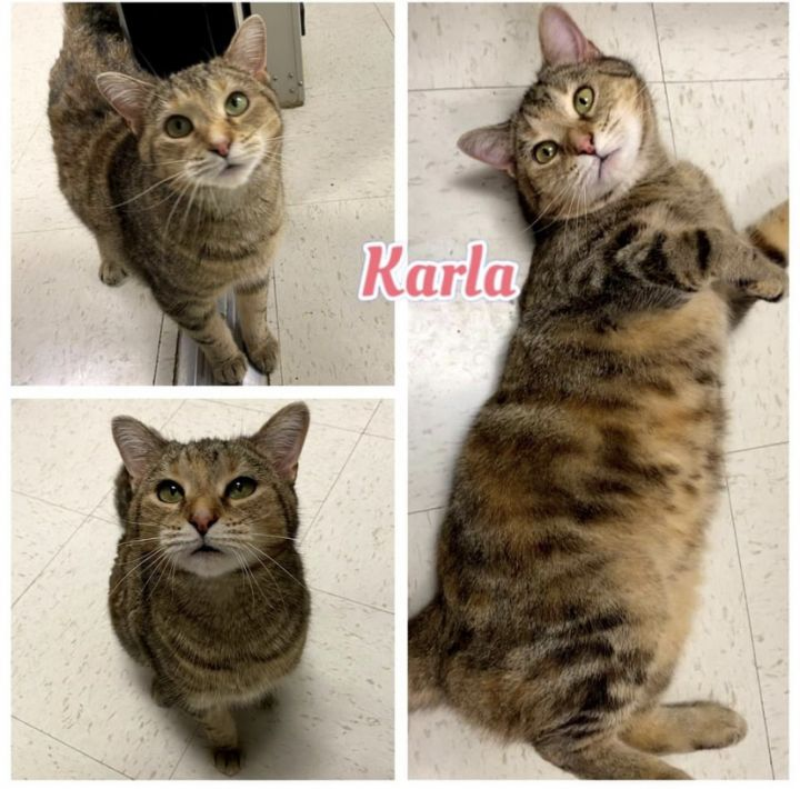 Karla, an adopted Domestic Short Hair Mix in LaGrange Park, IL