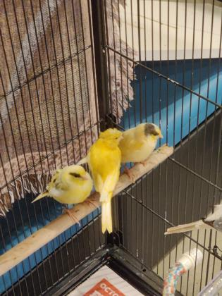 Canaries 1