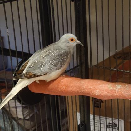 Diamond Doves 1