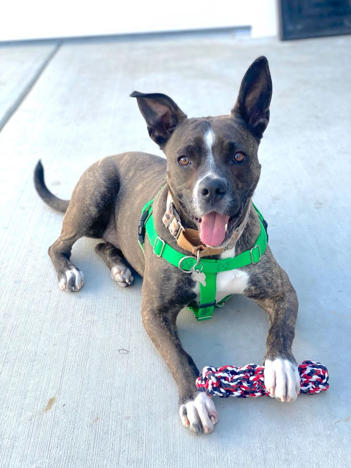 Cheza, an adoptable Pit Bull Terrier Mix in Palatine, IL
