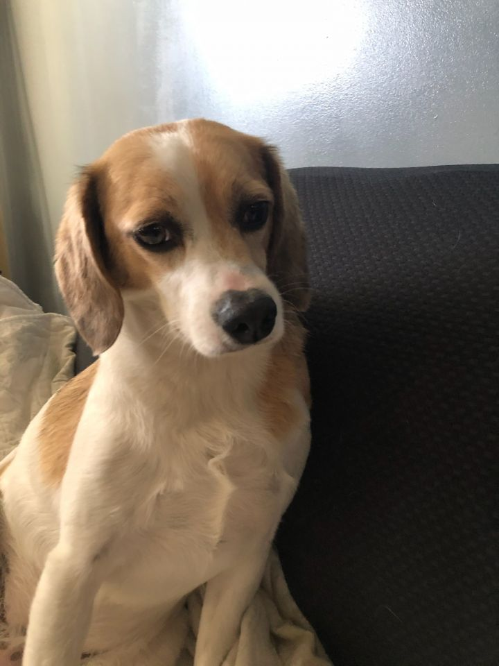 Ginger, an adopted Brittany Spaniel & Beagle Mix in Cincinnati, OH