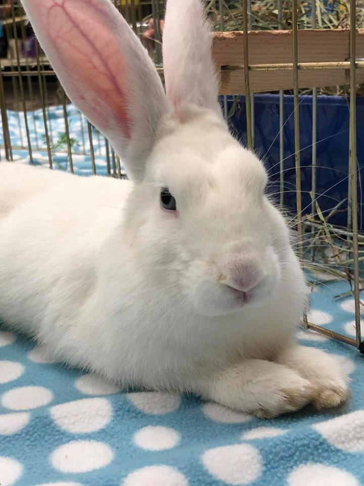 Chip aka CHP, an adoptable Bunny Rabbit in Livermore, CA