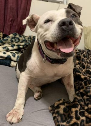 Polly is an adorable American bulldog mix She is approximately 5-6 years old She came to us after