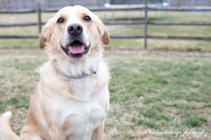 Scout, an adoptable Golden Retriever in Cincinnati, OH