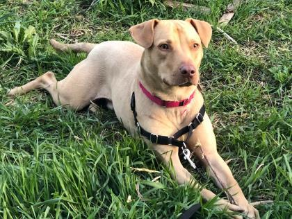 Sly, an adoptable Retriever Mix in Chicago, IL
