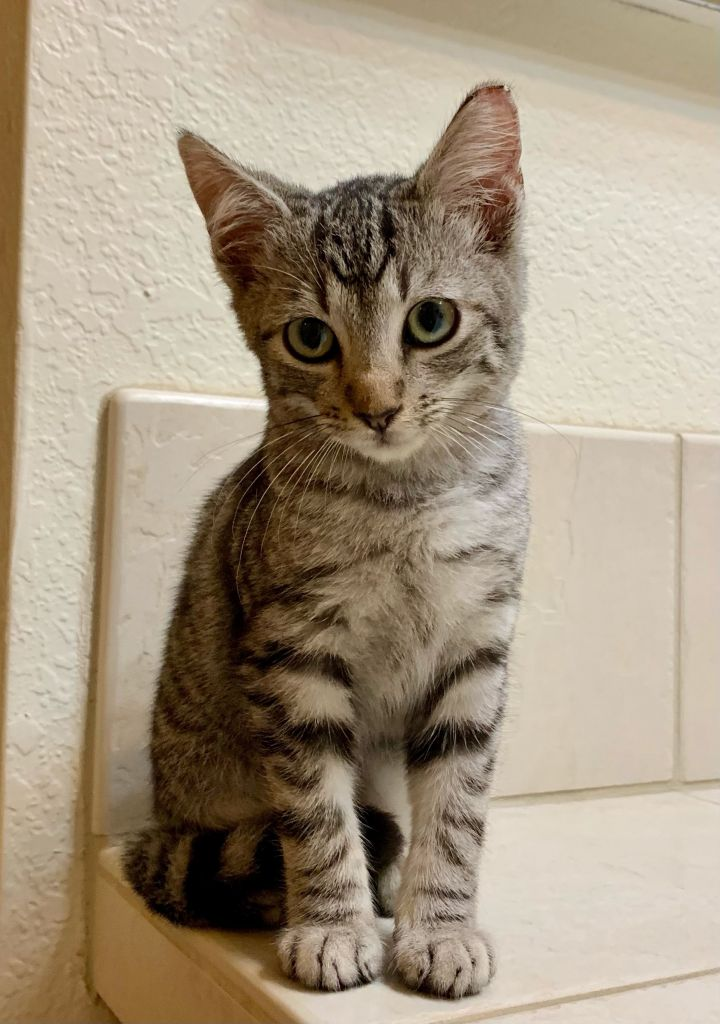 Oliver, an adoptable Domestic Short Hair Mix in Kilauea, HI