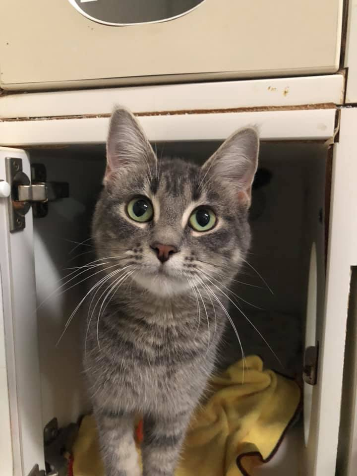 Sukie, an adopted Domestic Short Hair Mix in Rifle, CO