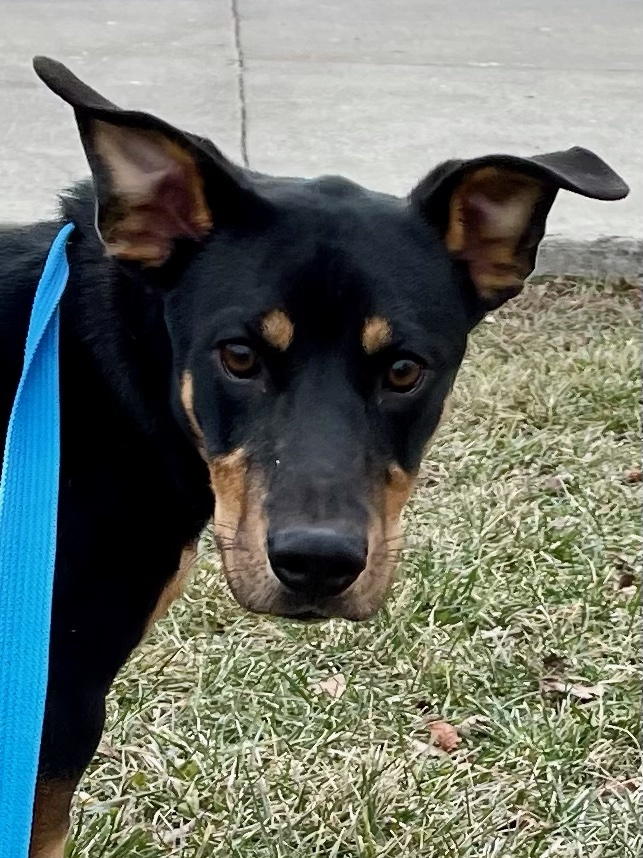 Cooper, an adopted Shepherd & Basset Hound Mix in Madison Heights, MI