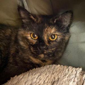 Minksky - NYC Domestic Short Hair Cat