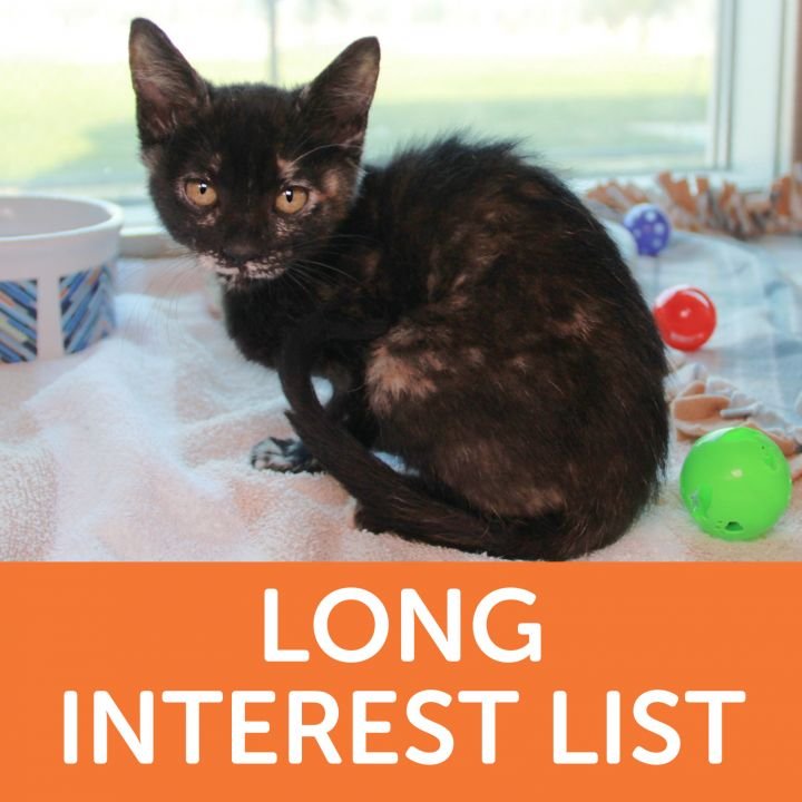 Prim, an adoptable Domestic Short Hair Mix in Clovis, CA