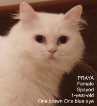 Praya Kuwaiti Odd Eyed Purrsian mix