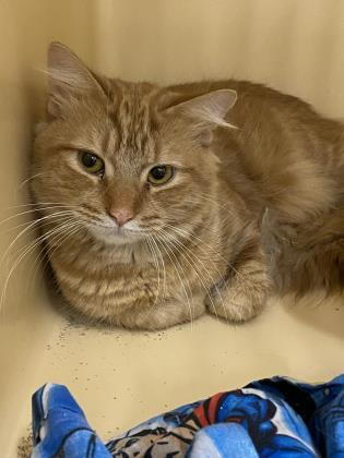 Cooper, an adoptable Domestic Long Hair & Domestic Short Hair Mix in Clarks Summit, PA
