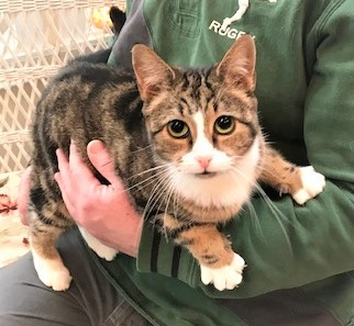 VIRGINIA - Beautiful, Charming, Cuddly, Affectionate, 4-Year-Old, Bengal Mix Girl! 4