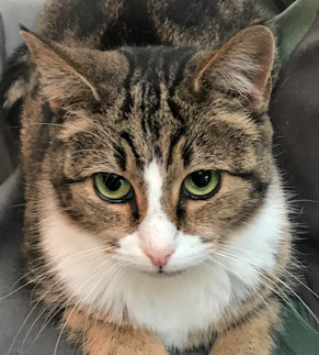 VIRGINIA - Beautiful, Charming, Cuddly, Affectionate, 4-Year-Old, Bengal Mix Girl!