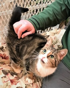 VIRGINIA - Beautiful, Charming, Cuddly, Affectionate, 4-Year-Old, Bengal Mix Girl! 5