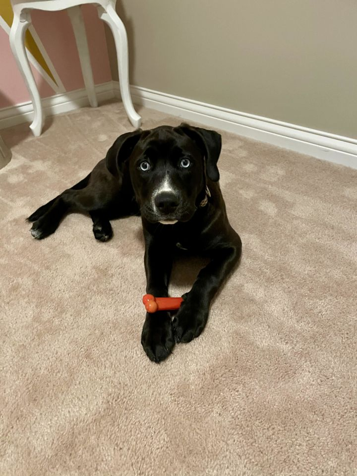 Luna, an adoptable Labrador Retriever & Husky Mix in Cincinnati, OH