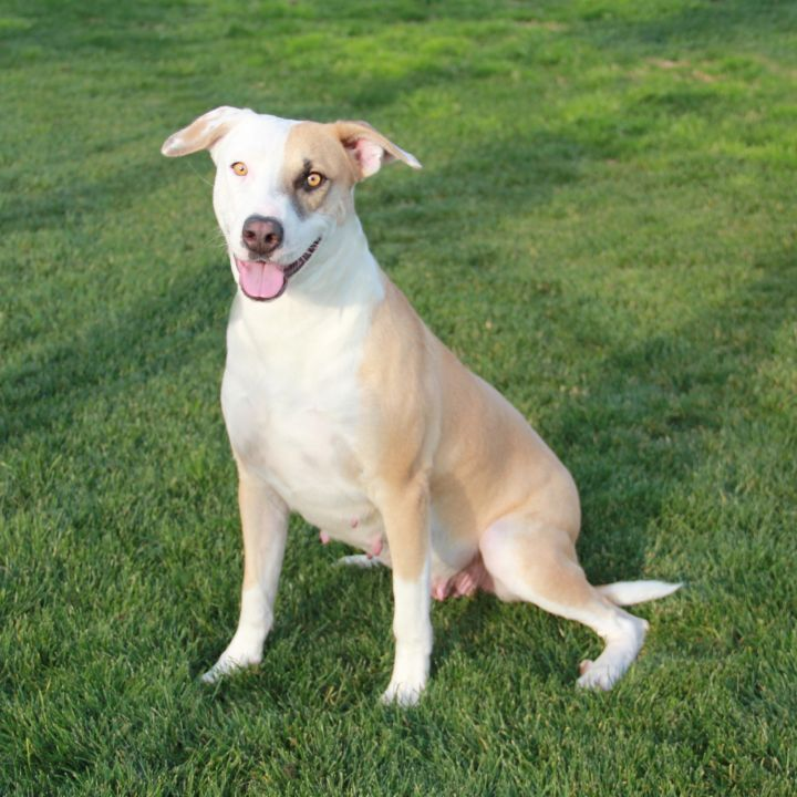Faith, an adoptable Pit Bull Terrier Mix in Clovis, CA