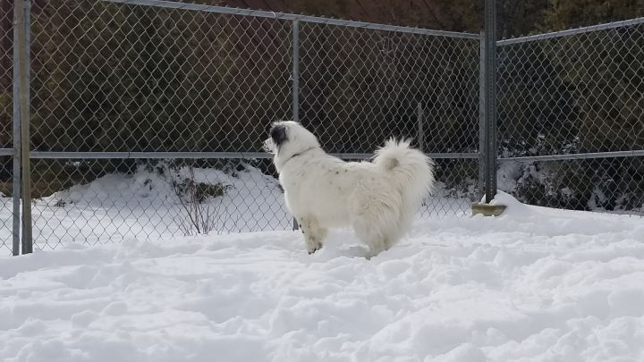 Luna, an adoptable Great Pyrenees Mix in Westfield, MA
