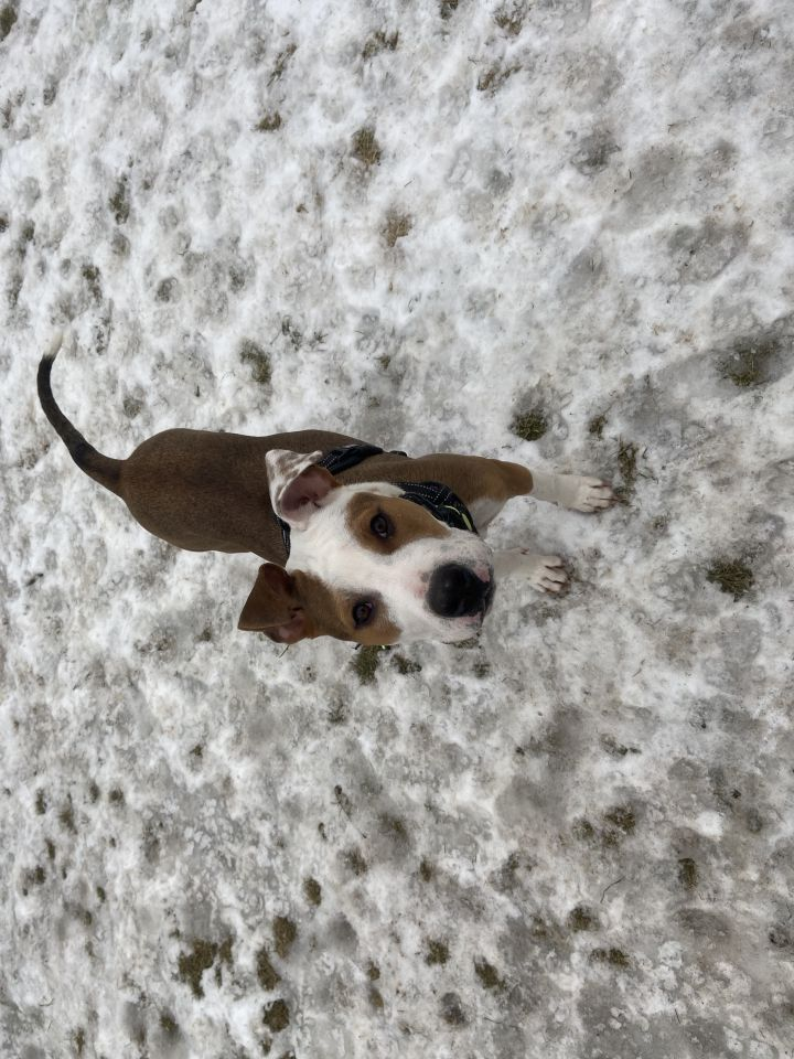 Suzie (cuddly sleeper), an adoptable Boxer & Coonhound Mix in White Lake, MI