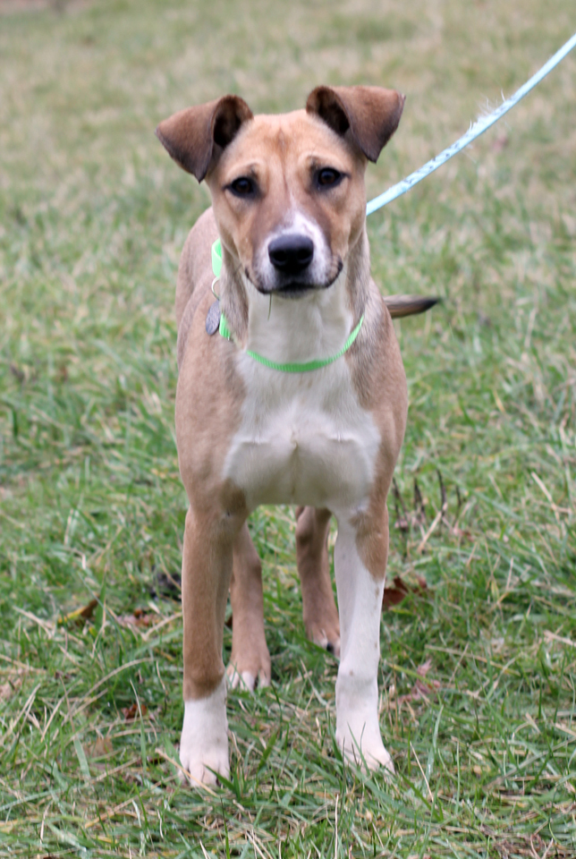 Karal, an adoptable Collie Mix in Harrison, NY