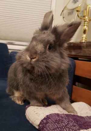 Lillys about three years old and the nicest prettiest Lionhead girl She even seems pretty good wi