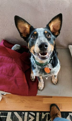 TO APPLY GO TO wwwLuckyDogRefugecom Woody is an awesome blue heeler puppy who knows basic obedie