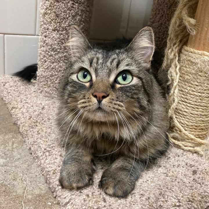 Rascal, an adopted Domestic Medium Hair in Canoga Park, CA