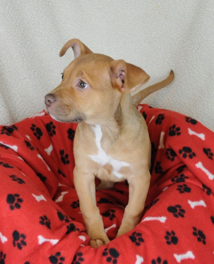 Amelia, an adoptable Staffordshire Bull Terrier Mix in Jamestown, CA