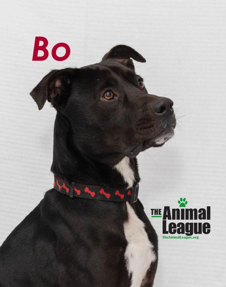 Bo, an adoptable Labrador Retriever & American Staffordshire Terrier Mix in Clermont, FL