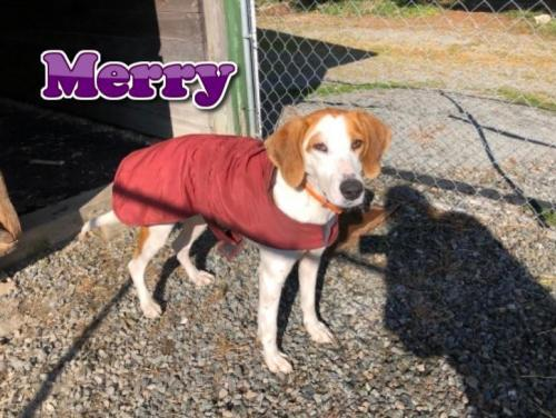 Merry, an adopted Hound Mix in Rockville, MD