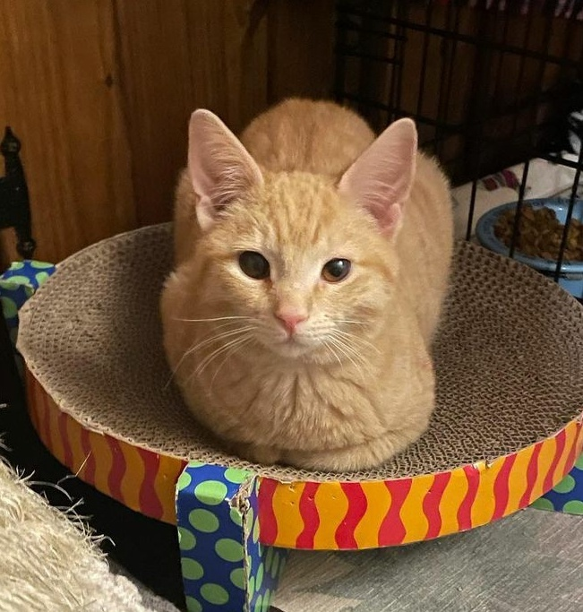 Hobbs, an adopted Domestic Short Hair in Warminster, PA