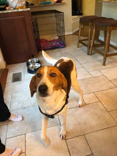 Olaf, an adoptable Hound Mix in Rockville, MD