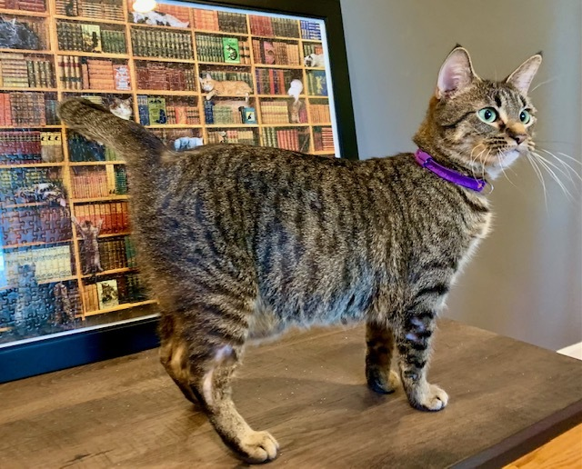 Betty - Pending Adoption, an adopted Domestic Short Hair & Tabby Mix in Minneapolis, MN