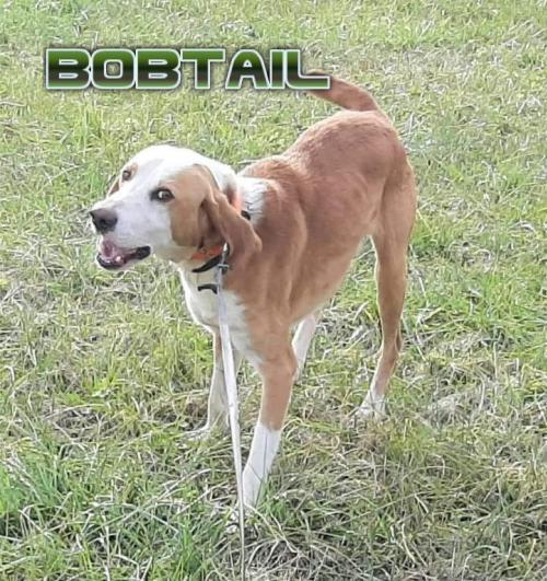 Bobtail, an adoptable Hound Mix in Rockville, MD