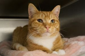 Dorito is an 8 month old neutered orange tabby He can be a little shy but he i