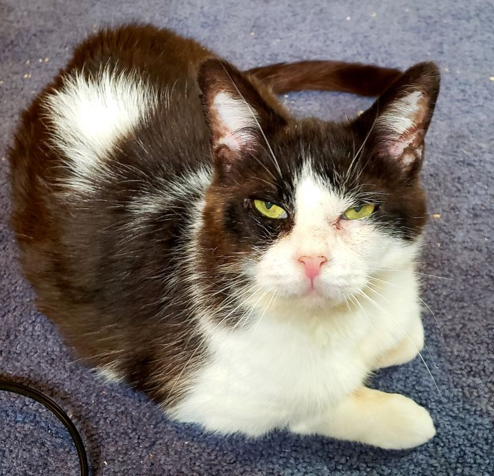 Obi-CUDDLY!, an adopted Tuxedo & Turkish Van Mix in Berlin, CT