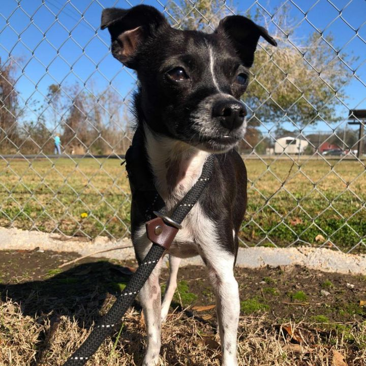 Zula, an adoptable Chihuahua Mix in Carencro, LA