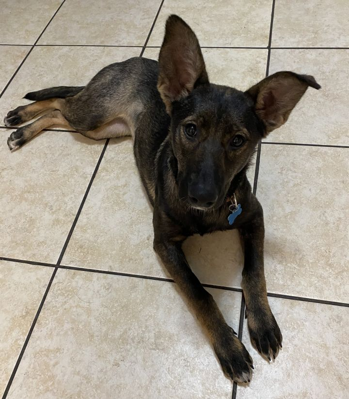 Lizzy, an adopted Belgian Shepherd / Malinois Mix in Naperville, IL