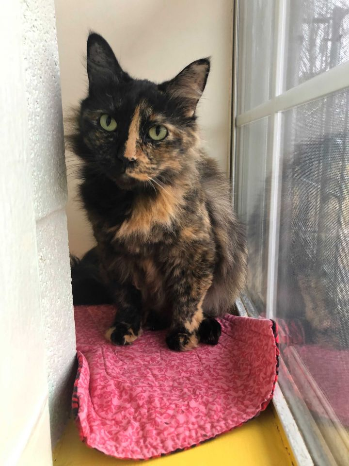 Josie, an adoptable Domestic Medium Hair Mix in Carencro, LA