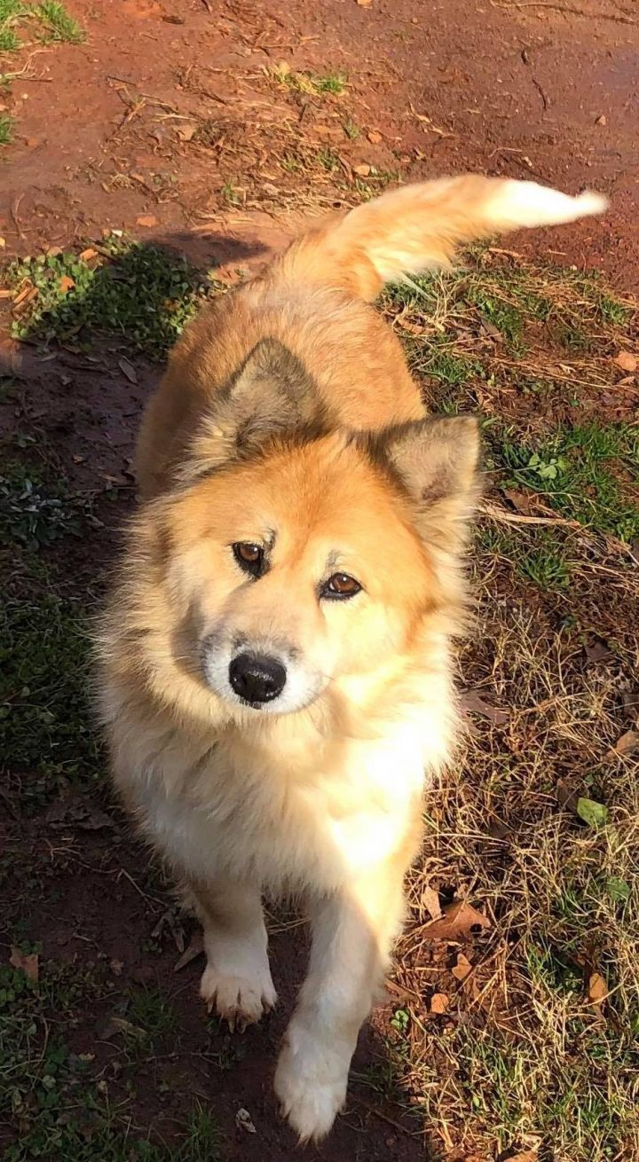 Goldie PENDING, an adopted Chow Chow & Golden Retriever Mix in Westport, CT