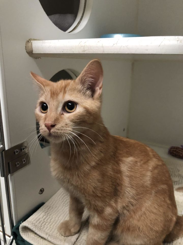 Ginger, an adoptable Domestic Short Hair Mix in Rifle, CO