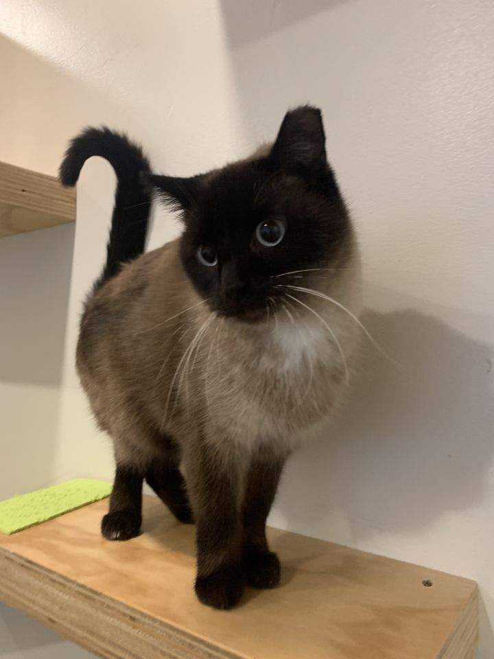 Si, an adopted Siamese Mix in Jackson, WY