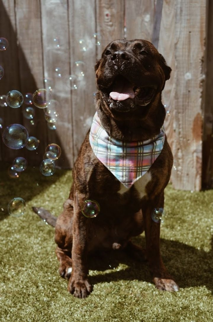 Groot, an adoptable Mastiff Mix in Springfield, MO