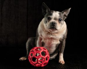 Moosetta is an 8 year old female being fostered on Long Island who was rescued after her elderly o