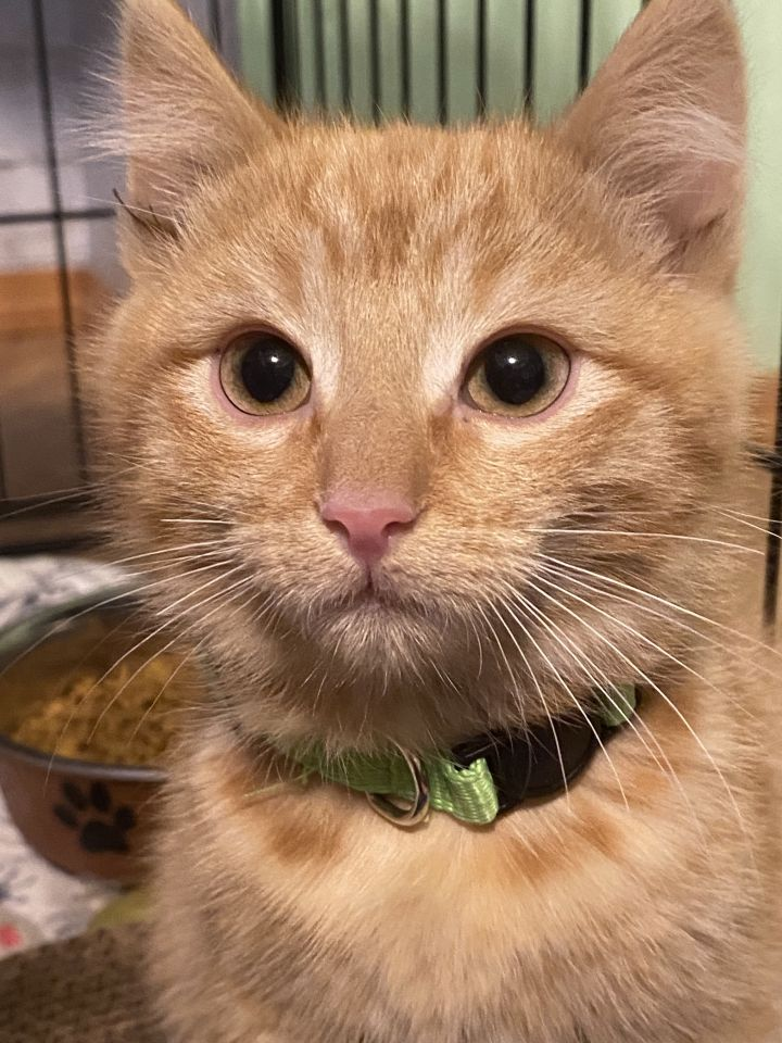 Jingle, an adopted Domestic Short Hair Mix in Springfield, MO