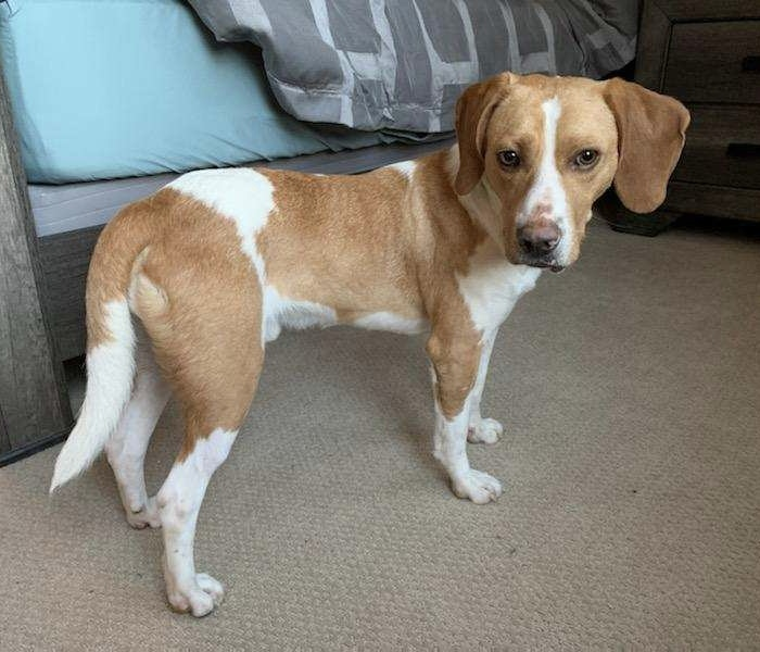 Jax, an adopted Hound Mix in Paramus, NJ