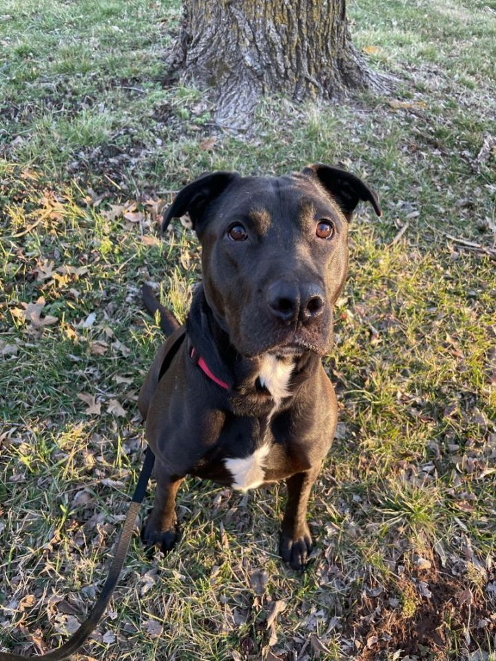 Phil, an adoptable Pit Bull Terrier Mix in Springfield, MO