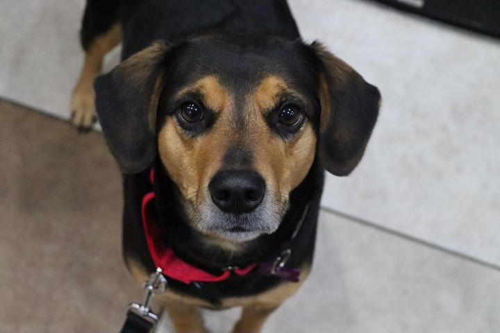 Hebrew, an adopted Beagle Mix in Springfield, MO