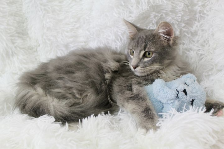 Steamy Stormy, an adopted Maine Coon & Domestic Long Hair Mix in Saint Augustine, FL