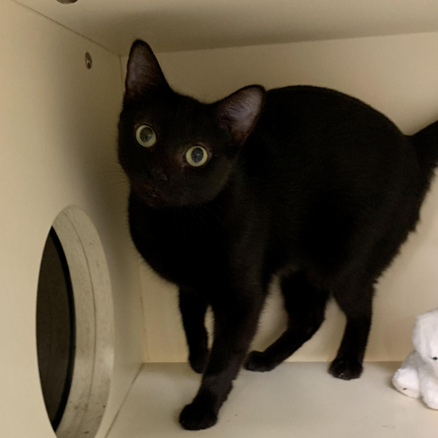 Twinkie, an adopted Domestic Short Hair in Hinsdale, IL_image-1